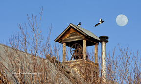 bell tower magpies